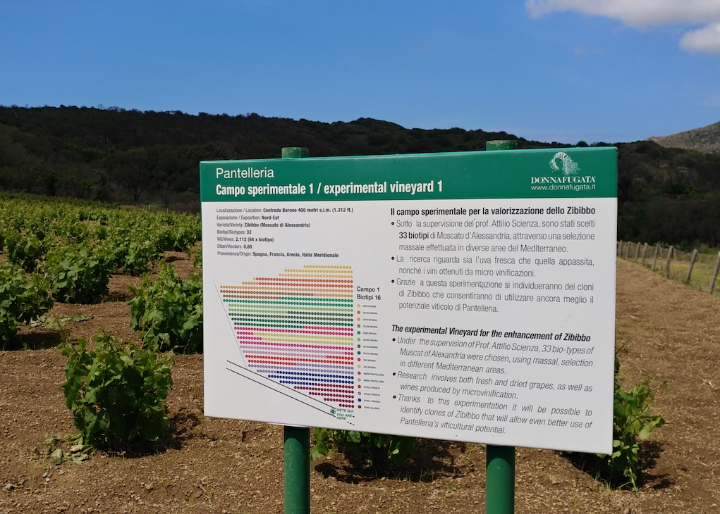 Donnafugata's Experimentation Vineyard with 33 Biotypes of Zibibbo.