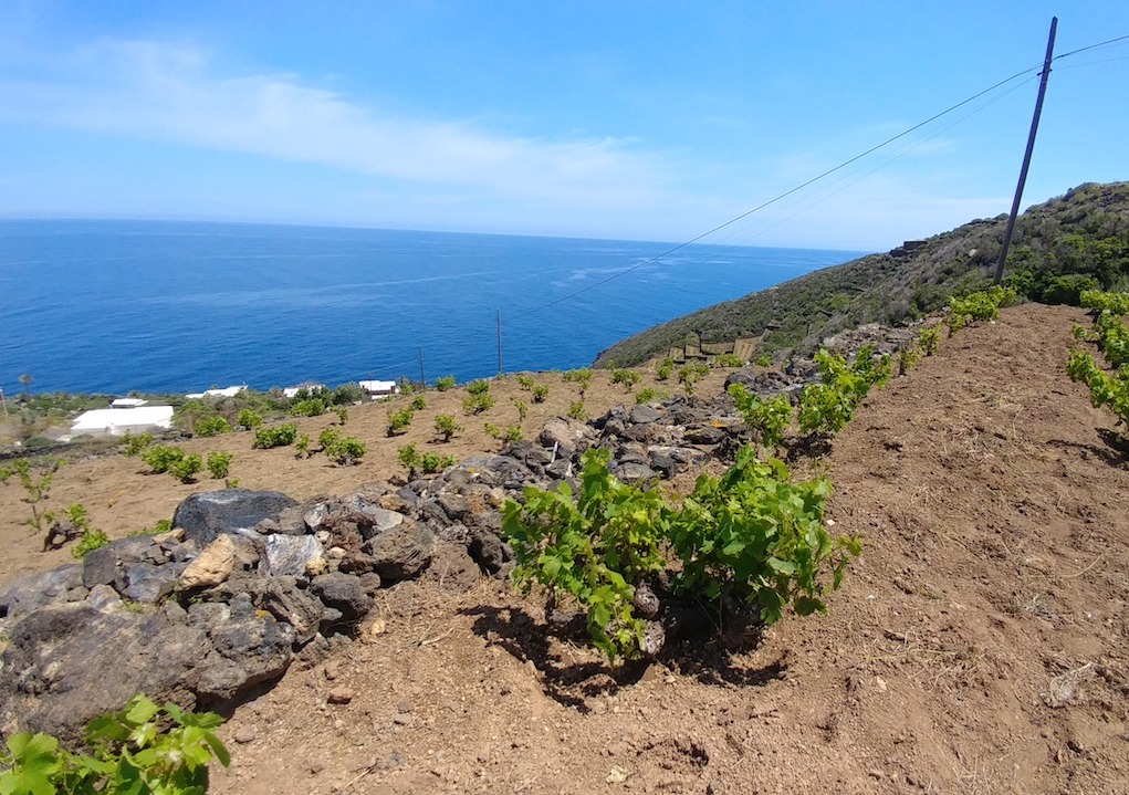 Donnafugata's Zibibbo Bush Vines by the Mediterranean Sea.