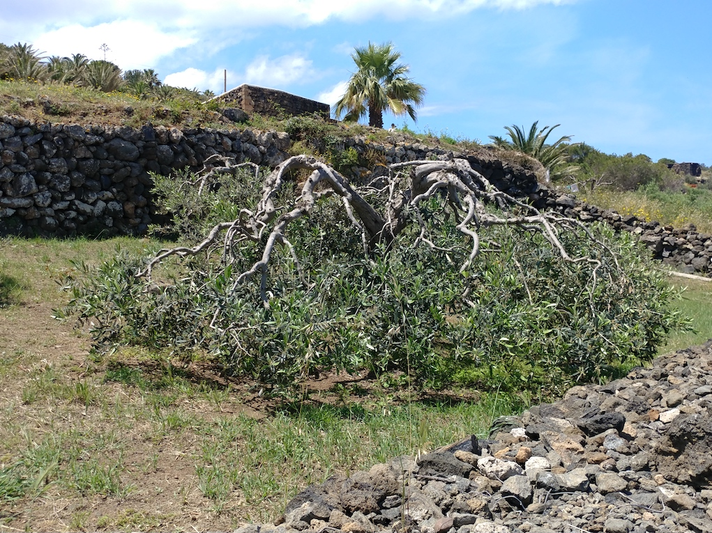 Olive Tree Weighted Down to Protect it from the Wind on Pantelleria Island.
