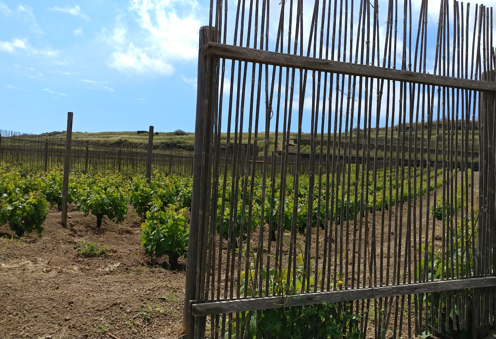 One of Donnafugata's Vineyards Protected from the Wind by Wood Slat Fences.