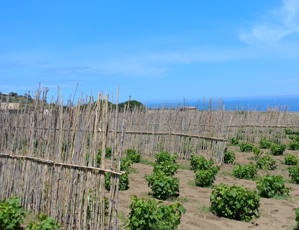 Slats of Wood protect Donnafugata's Zibibbo Vines by the Mediterranean Sea.