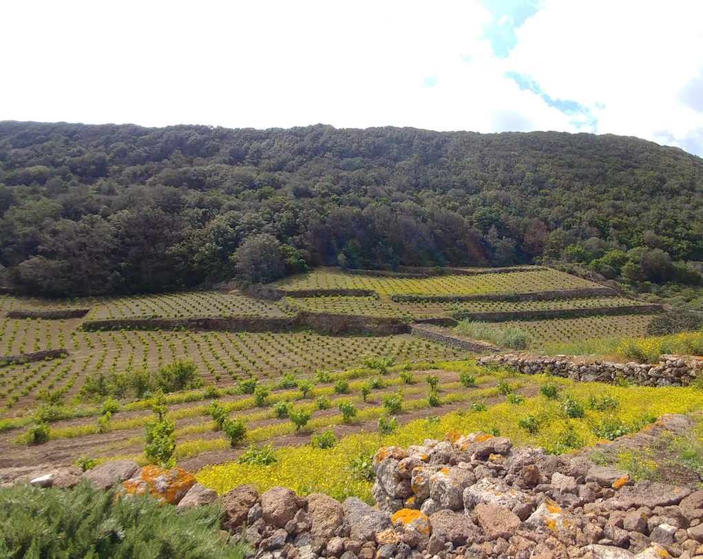 Vineyards at Coste Ghirlanda on the island of Pantelleria.