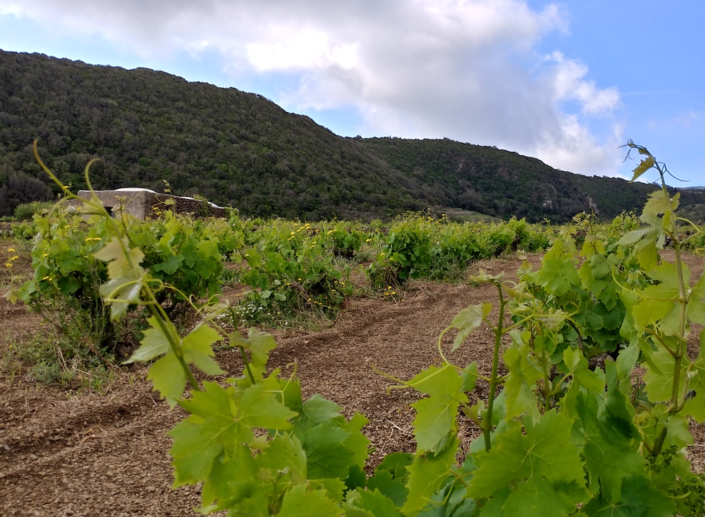 Vineyards at Coste Ghirlanda.