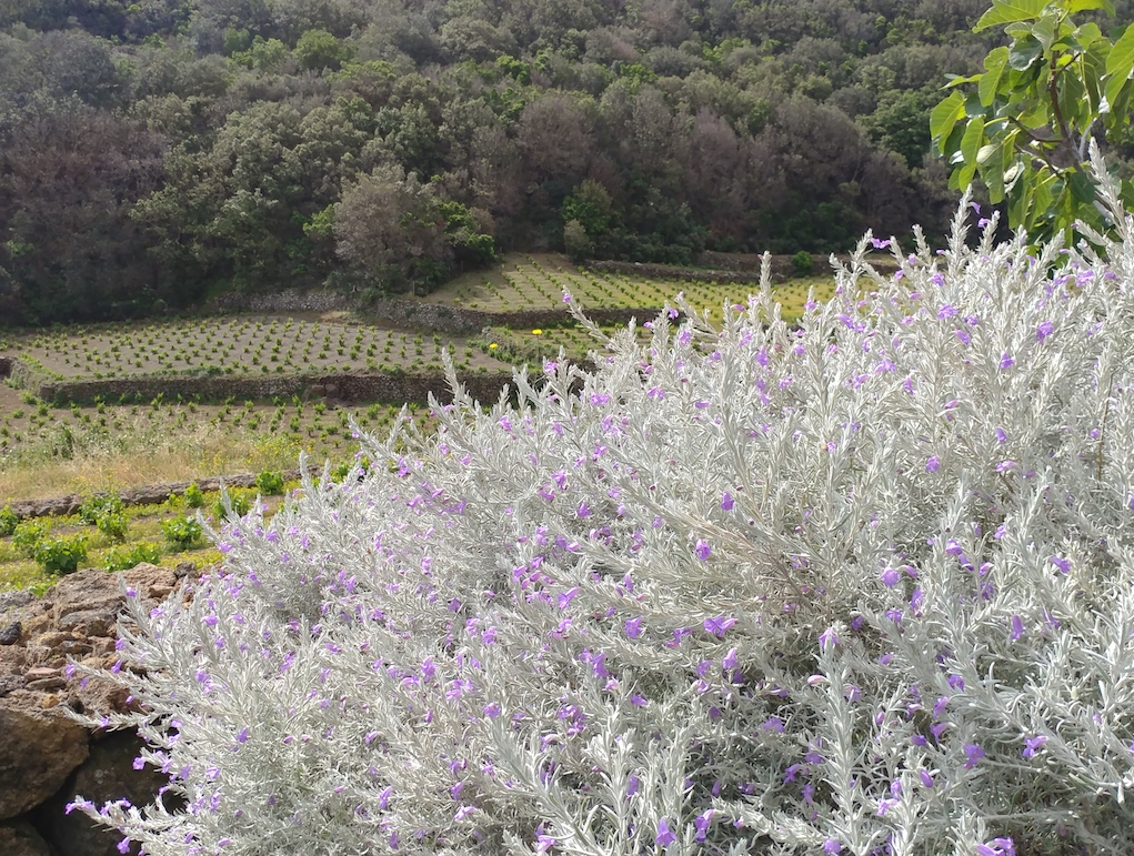 Wild Flowers Growing All Around the Vineyards of Coste Pantelleria.