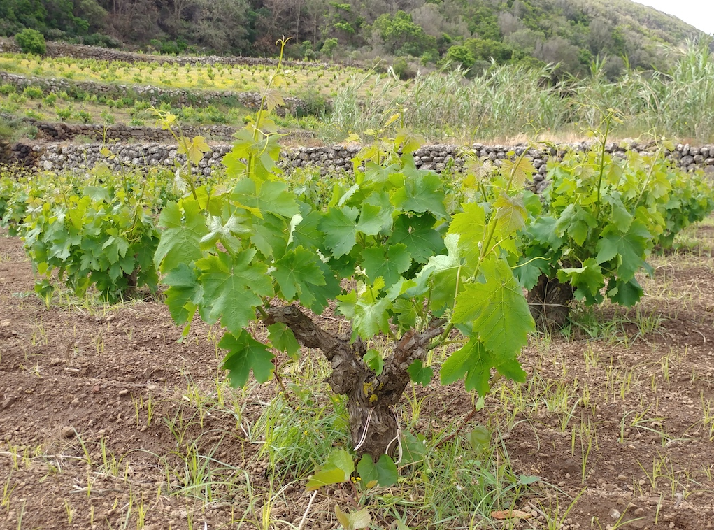 Zibibbo Bush Vine at Coste Ghirlanda.