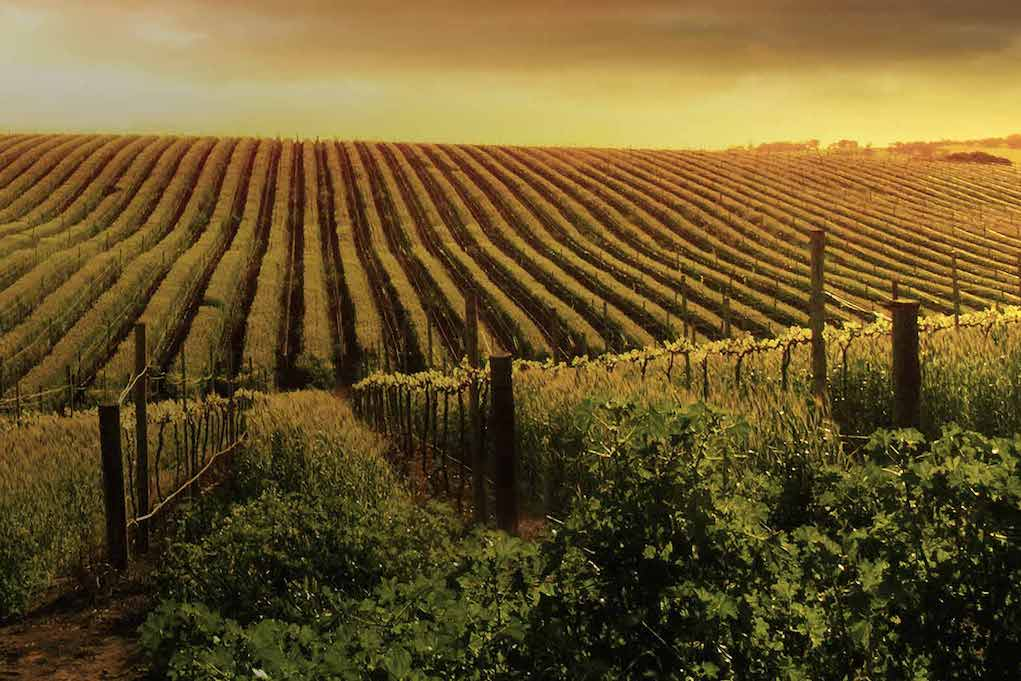 Landscape Vineyard. Photo Credit Australian Vintage
